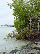 Mangroves Conquering the Beach